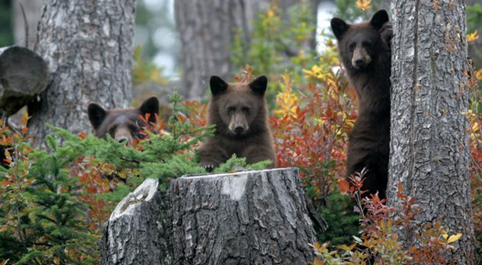 Whistler Bears - Katie Mclachlan real estate